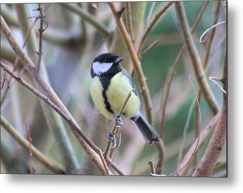 Bluetit Metal Print featuring the photograph Bluetit by Gordon Auld