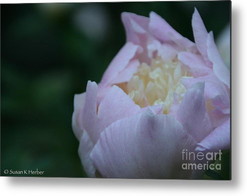 Flower Metal Print featuring the photograph Bordering On Pink by Susan Herber