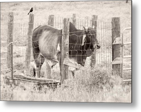 Brahman Metal Print featuring the photograph Brahman Bull by Imagery by Charly