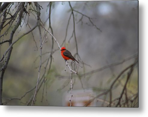 Metal Print featuring the photograph Brazilian Flycatcher #2 by G Berry