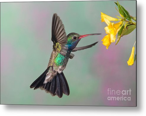 Broadbilled Hummingbird Metal Print featuring the photograph Broad-billed Hummingbird by Jim Zipp