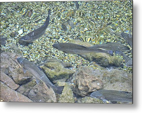 Brown Metal Print featuring the photograph Brown Trout by Tara Potts