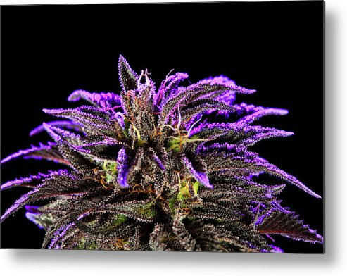 Botany Metal Print featuring the photograph Buds In Bloom by Stock Pot Images