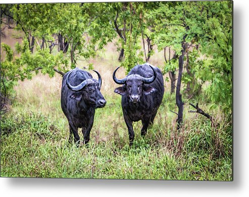 Animal Metal Print featuring the photograph Bull Rush by Maria Coulson