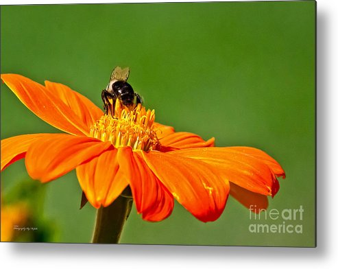 Insect Metal Print featuring the photograph Bumble Bee IIi by Ms Judi