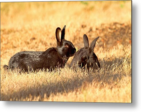 Rabbits Metal Print featuring the photograph Bunny Love by Peggy Collins