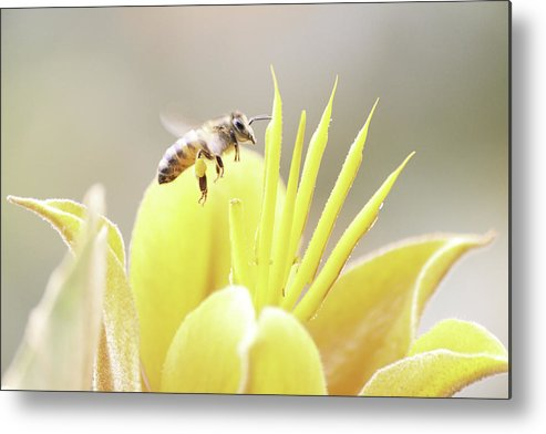 Bee Metal Print featuring the photograph Busy Bee by Luna Curran