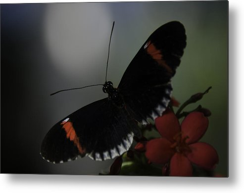 Butterfly Metal Print featuring the photograph Butterfly Garden by Charles Garrett