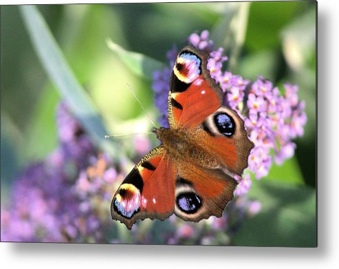 Butterfly Metal Print featuring the photograph Butterfly On Buddleia by Gordon Auld