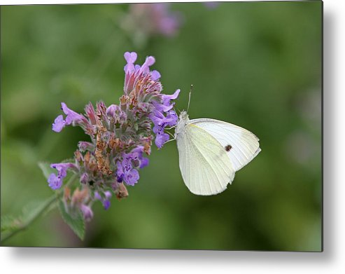White Metal Print featuring the photograph Cabbage White by Juergen Roth