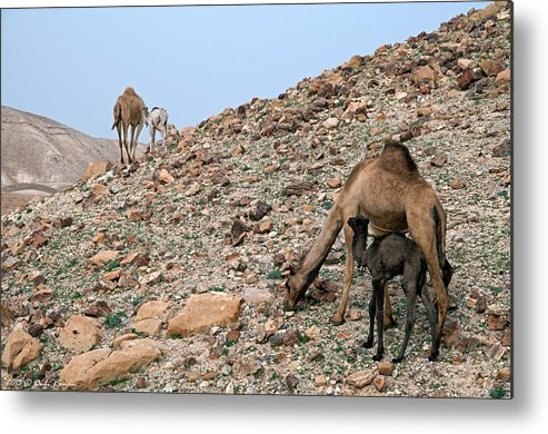 Camels Metal Print featuring the photograph Camels At The Israel Desert -1 by Dubi Roman