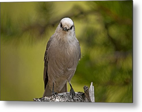 Wildlife Metal Print featuring the photograph Camp Robber by Eric Nelson