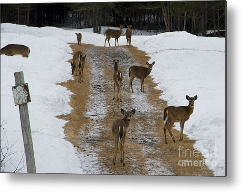 Doe Metal Print featuring the photograph Can Deer Read by Mary Koenig Godfrey