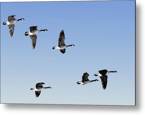Light Metal Print featuring the photograph Canada Geese In Flight, Algonquin Park by Doug Hamilton