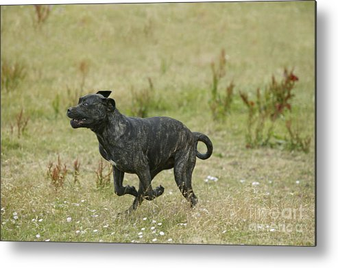 Canary Dog Metal Print featuring the photograph Canary Dog Running by Jean-Michel Labat