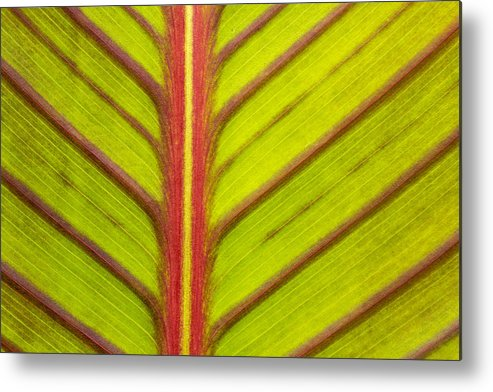 Canna Lily Leaf Metal Print featuring the photograph Canna Lily Red Stripe by Marina Kojukhova
