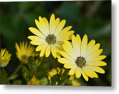 Daisy Prints Metal Print featuring the photograph Cape Daisies by Sharon Lisa Clarke