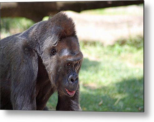 Gorilla Metal Print featuring the photograph Captive Look by Shoal Hollingsworth