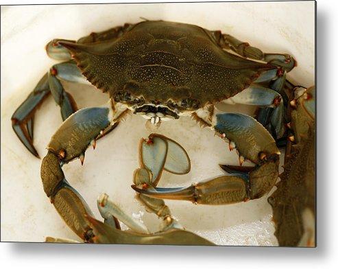 South Carolina Metal Print featuring the photograph Carolina Blue Crab by Marilyn Hunt