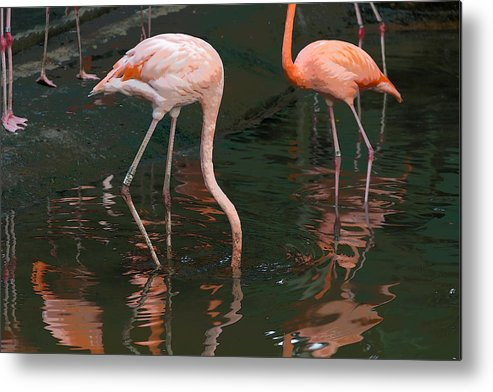 Asia Metal Print featuring the digital art Cartoon - A Flamingo With Its Head Under Water In The Jurong Bird Park by Ashish Agarwal
