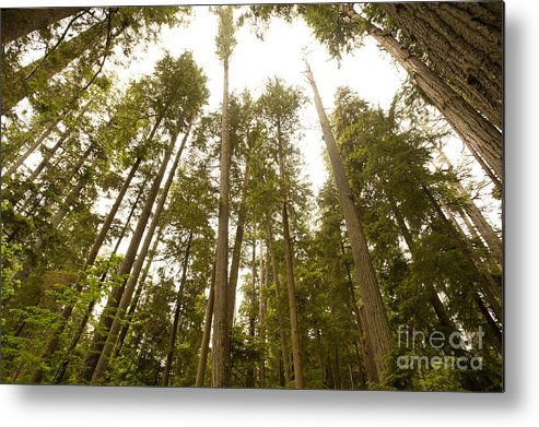 Provincial Park Bc Metal Print featuring the photograph Cathedral Forest by Artist and Photographer Laura Wrede