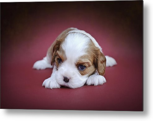 Animal Metal Print featuring the photograph Cavalier King Charles Spaniel Puppy by Waldek Dabrowski