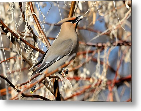 Bird Metal Print featuring the photograph Cedar Waxwing by Brian Wartchow