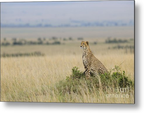 Acinonyx Jubatus Metal Print featuring the photograph Cheetah Perched On A Mound by John Shaw