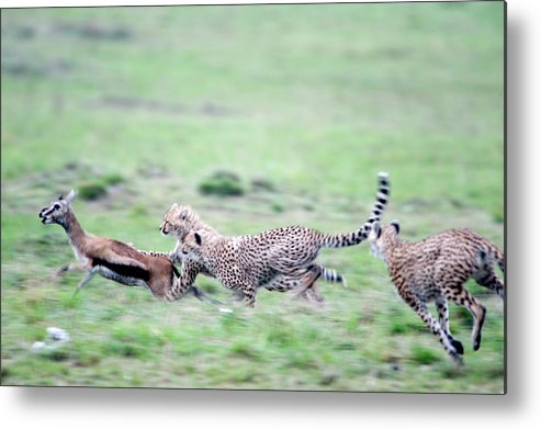 Photography Metal Print featuring the photograph Cheetahs Acinonyx Jubatus Chasing by Animal Images