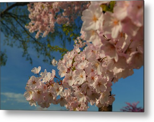 Architectural Metal Print featuring the photograph Cherry Blossoms 2013 - 035 by Metro DC Photography