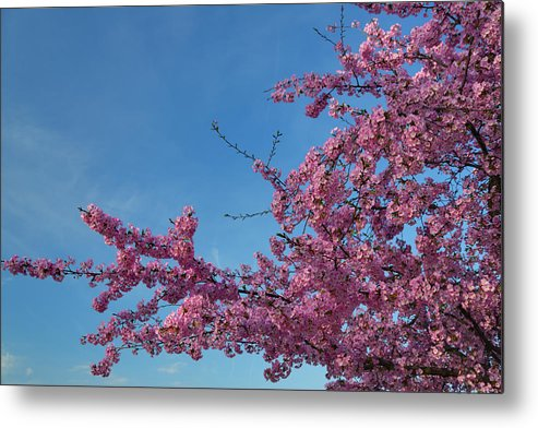 Architectural Metal Print featuring the photograph Cherry Blossoms 2013 - 037 by Metro DC Photography