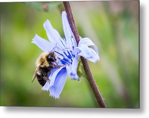 Bee Metal Print featuring the photograph Chicory Bee by Bill Pevlor