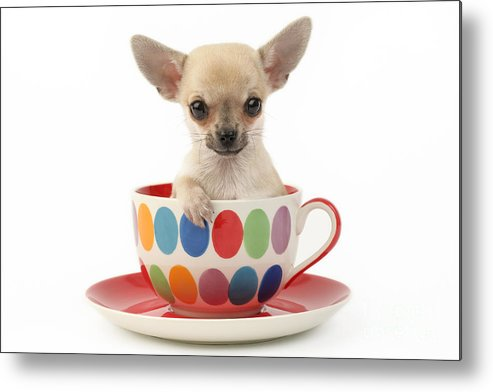Chihuahua Metal Print featuring the digital art Chihuahua In Cup Dp684 by Greg Cuddiford
