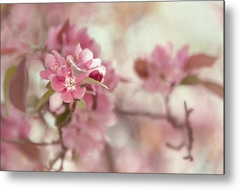 Crabapple Metal Print featuring the photograph Chintz by Mary OMalley
