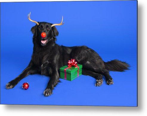Animal Metal Print featuring the photograph Christmas Dog by Corey Hochachka