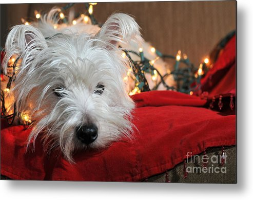 West Highland Terrier Metal Print featuring the photograph Christmas Westie by Catherine Reusch Daley