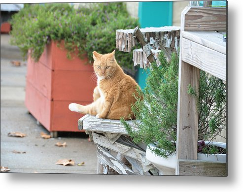 Animals Metal Print featuring the photograph City Kitty by Jan Amiss Photography