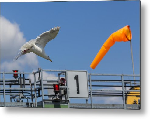 Seagull Metal Print featuring the photograph Cleared For Landing by Scott Campbell