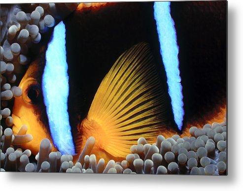Micronesia Metal Print featuring the photograph Clownfish 1 by Dawn Eshelman
