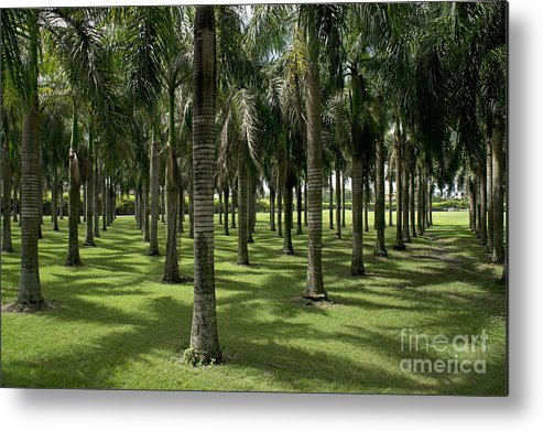 Abundance Metal Print featuring the photograph Coconuts Trees In A Row by Sami Sarkis