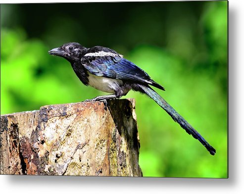 Common Magpie Metal Print featuring the photograph Common Magpie by Colin Varndell/science Photo Library