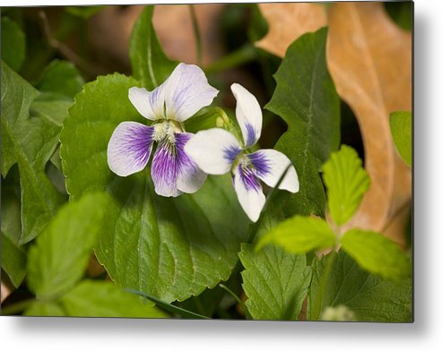 Common Violet Metal Print featuring the photograph Common Violet by Bernard Lynch
