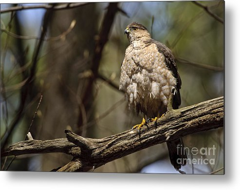 Cooper's Hawk Metal Print featuring the photograph Coopers Hawk Pictures 124 by World Wildlife Photography