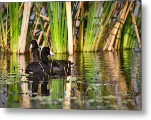 Bird Metal Print featuring the photograph Coot Pair by Andrew Baita