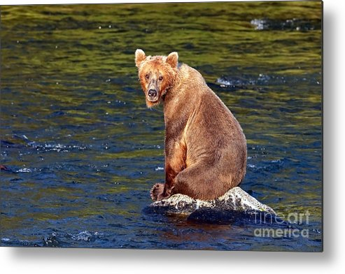Brown Bear Metal Print featuring the photograph Cop A Squat by Bill Singleton