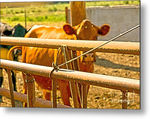 Cow Art Photographs Metal Print featuring the photograph Cows Coming Home by Artist and Photographer Laura Wrede