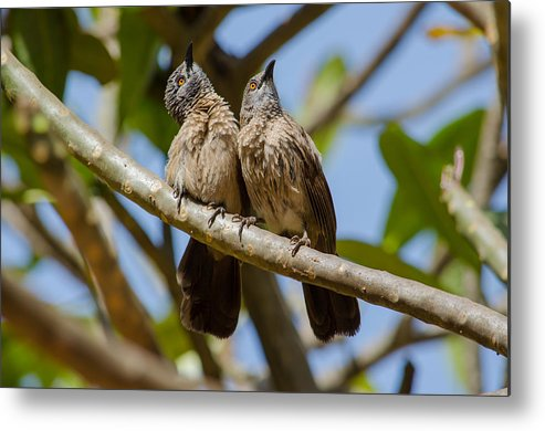 Africa Metal Print featuring the photograph Curious Brown Babblers by Dave Montreuil