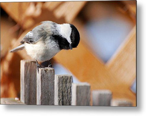 Bird Metal Print featuring the photograph Curious Chickadee by Christina Rollo