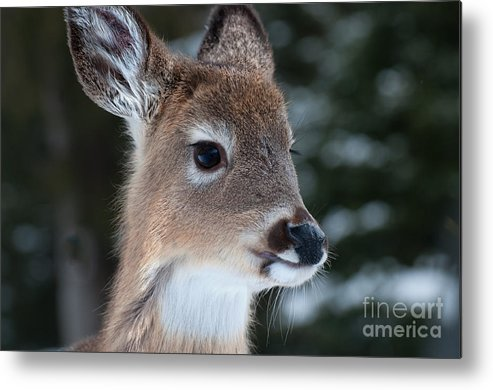 White Tailed Deer Metal Print featuring the photograph Curious Fawn by Bianca Nadeau