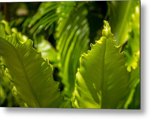 Leaves Metal Print featuring the photograph Curls And Shadows by Debbie Orlando